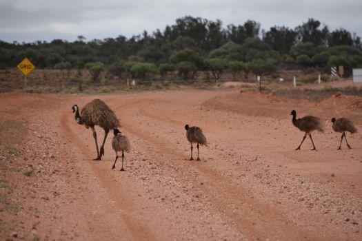 Dieser Emufamilie war unsere Anwesenheit egal
