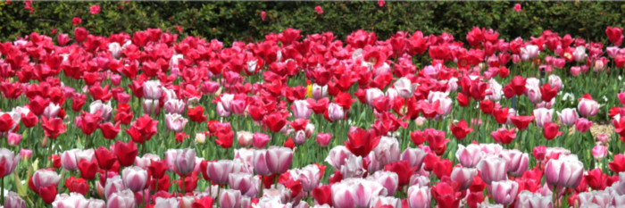 Tulips at the Dallas Arboretum https://www.dallasarboretum.org/event/book-signing-with-cynthia-wildredge-author-of-bun-e-learns-to-count-in-french/