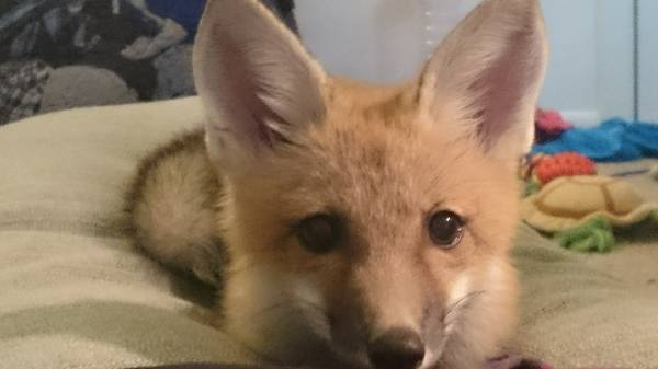 Orlando Craigslist Find: Pet fox looking for a home ...