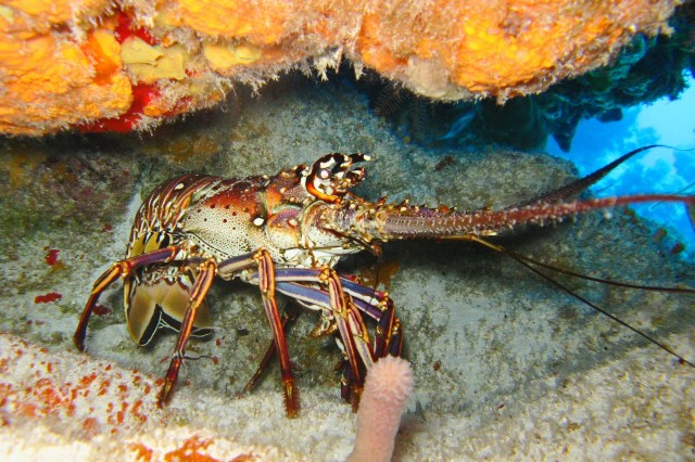 Keeping a lobster alive
