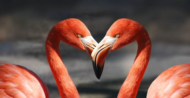 Pixabay flamingos