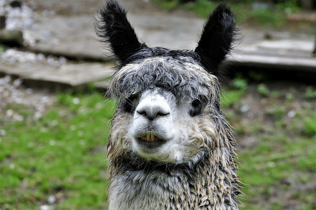 Don't Get A Conniving Pet Llama Like I Did by Michael Dawson