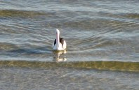 Speaking unspeaking... messages from a pelican