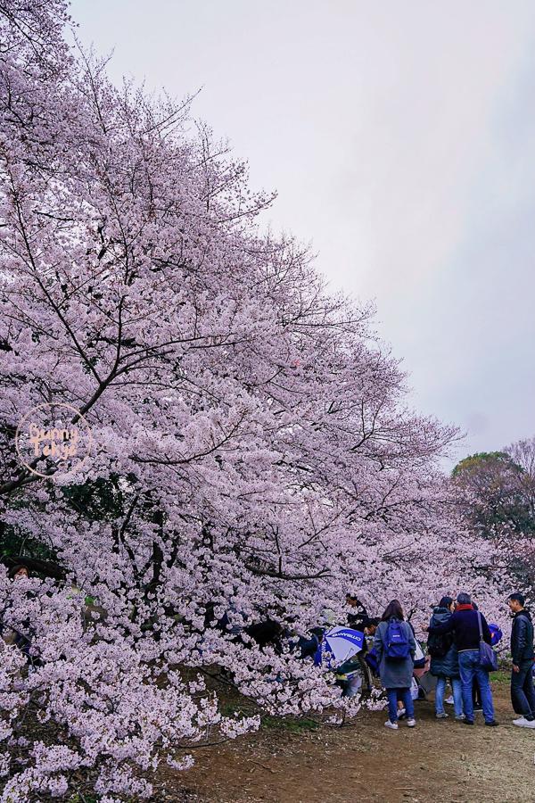 Tokyo Hanami 2019: Kinuta Park