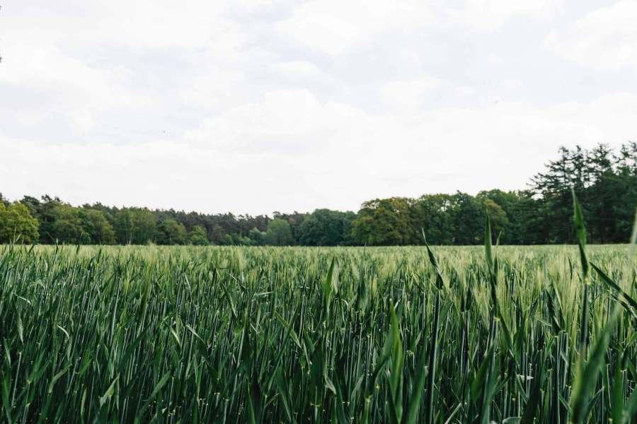 Grashalme in Nahaufnahme, im Hintergrund sieht man Bäume