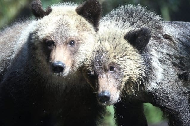 Alaska, Trump rimuove divieti che proteggono orsi e lupi: via libera a dolci e fari per ucciderli