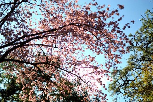 #cherryblossom #shillong #meghalaya #travelblogger