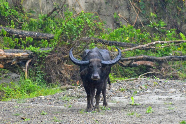 #northeast #wildlife #asiaticwaterbuffalo