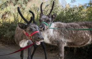 LA Zoo Reindeer Romp
