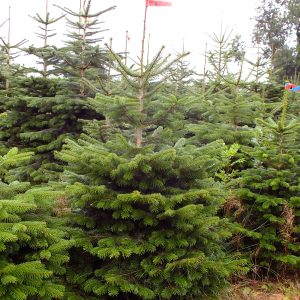 Nordmann Fir Tree