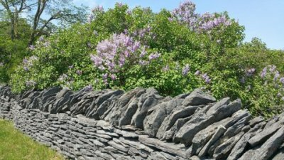 stone fence with lilac bush