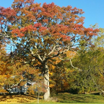 Trees #4, Northern Red Oak