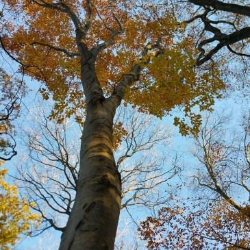 Trees #5, American Beech
