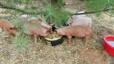 pigs drinking whey