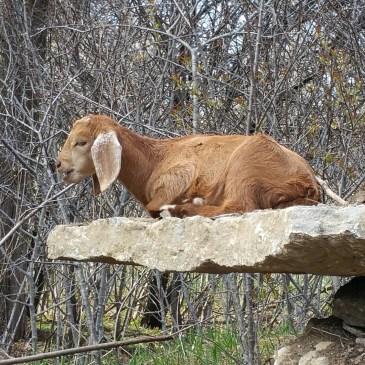 Goat antics
