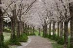 Spring trees will bloom in Itabashi, Japan and hopefully in Burlington as well.