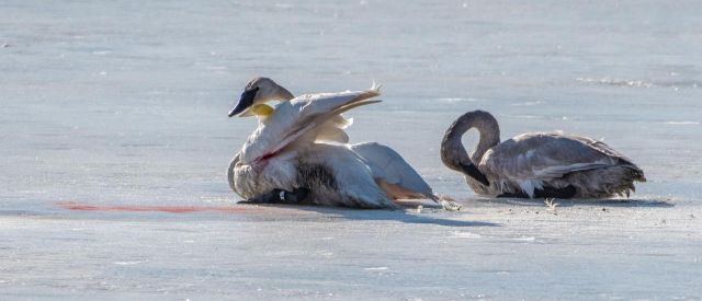 Swans stuck on ice 1
