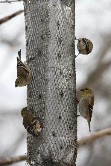 American Goldfinches on a nyger feeder at High Park in Toronto, ON
