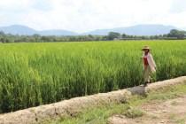 နွေစပါးစိုက်ထားတဲ့လယ်ကွင်းတစ်နေရာ ဓာတ်ပုံ http://thefarmermedia.com/