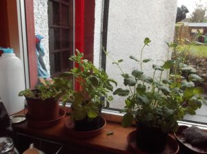 windowsill herbs