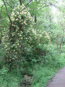 honeysuckletree