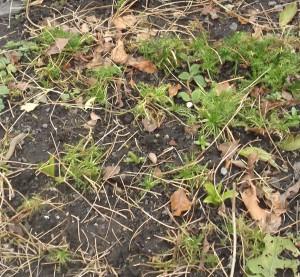 chamomile lawn3