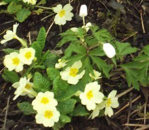primroses and wind anemones