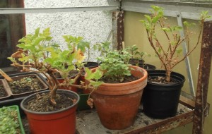 3 pots of geraniums