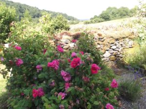 rosa gallica against a wall, overlooking a valley