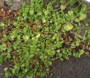 chickweed growing out of a crack in the tarmac