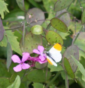 orange tip butterfly on honesty flower