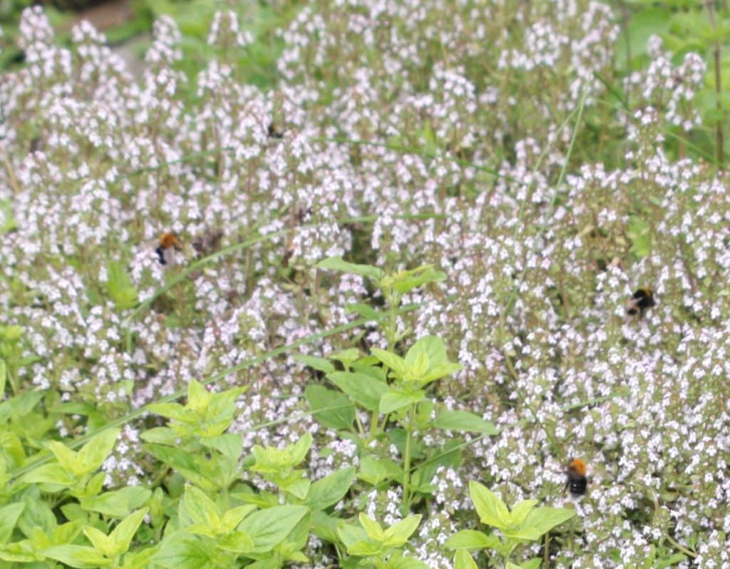 Thyme flowers with many bees