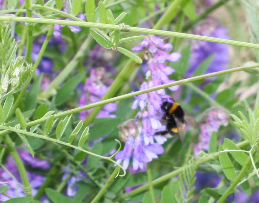 a bumble bee on a stand of tufted vetch