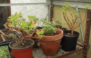 3 pots of geraniums