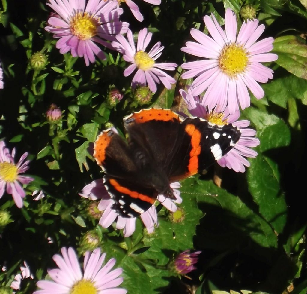 red admiral on michaelmas daisies