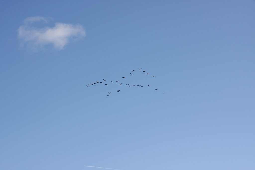 skein of geese against a blue sky