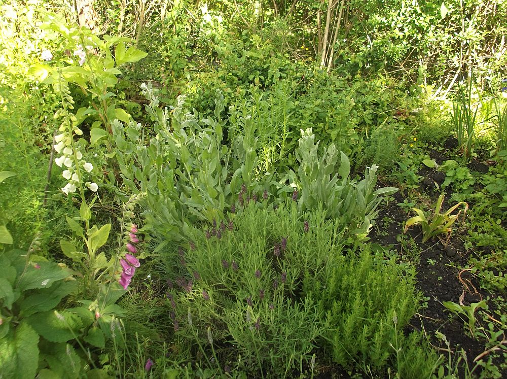 herb garden with lavender stoechas foxglove and costmary