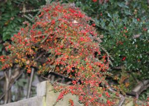 cotoneater berries