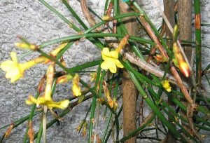 winter jasmine in flower against a wall