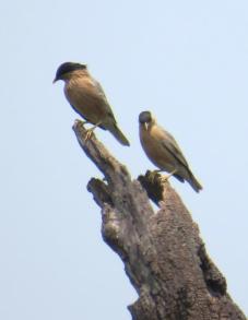 Brahminy Starling 2
