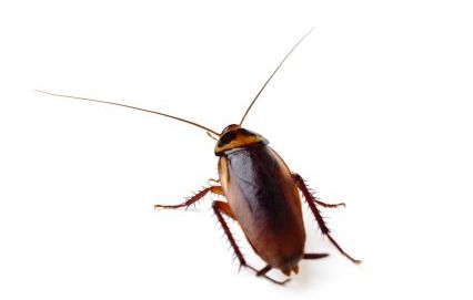 Cockraoch Control Burns Pest Elimination
