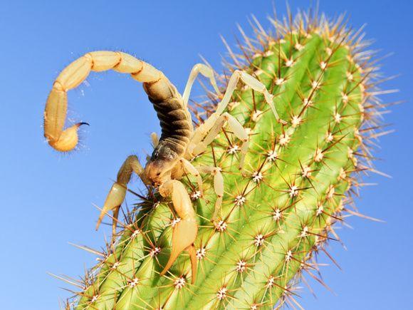 Scorpion on a cactus.