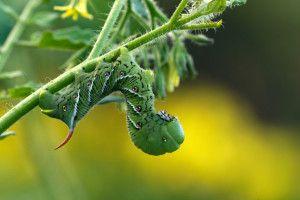 Green caterpillar.