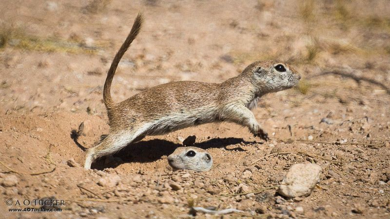 Ground squirrels.