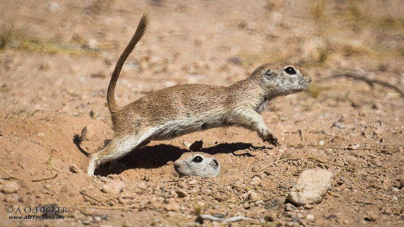 Ground squirrels.