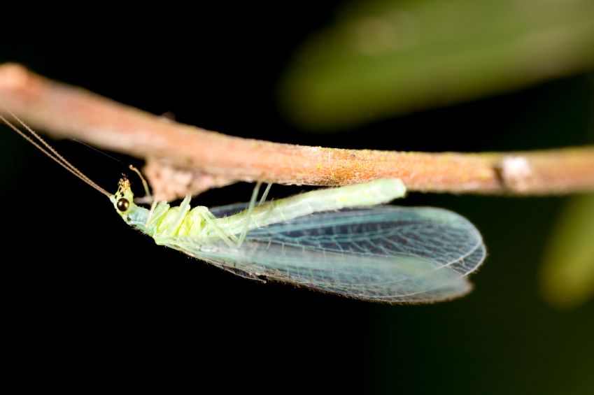 Lacewing.