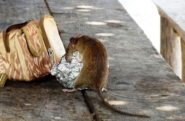 Rat eating a sandwich out of a lunch bag.