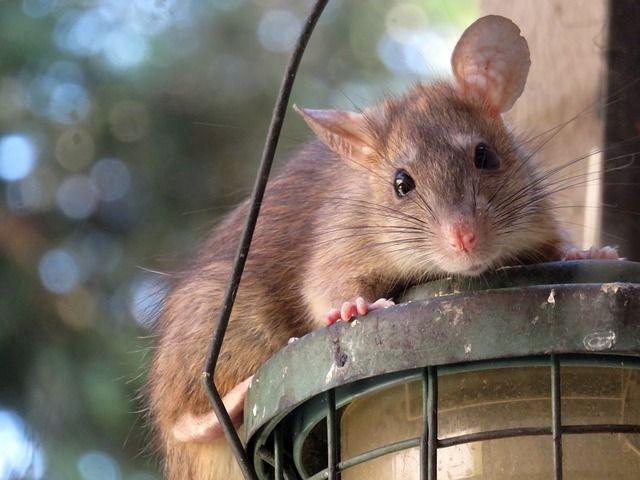 Rat on bird feeder.