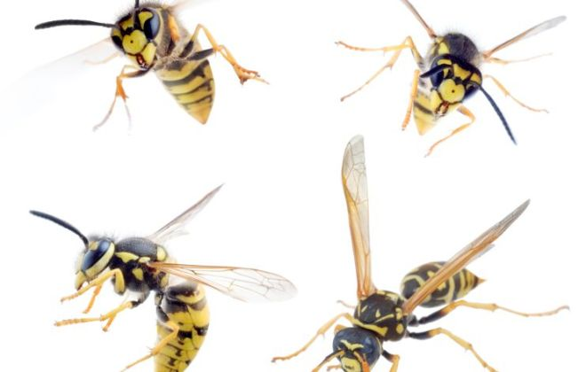 Wasps.