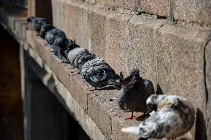 pigeons roosting on AZ home